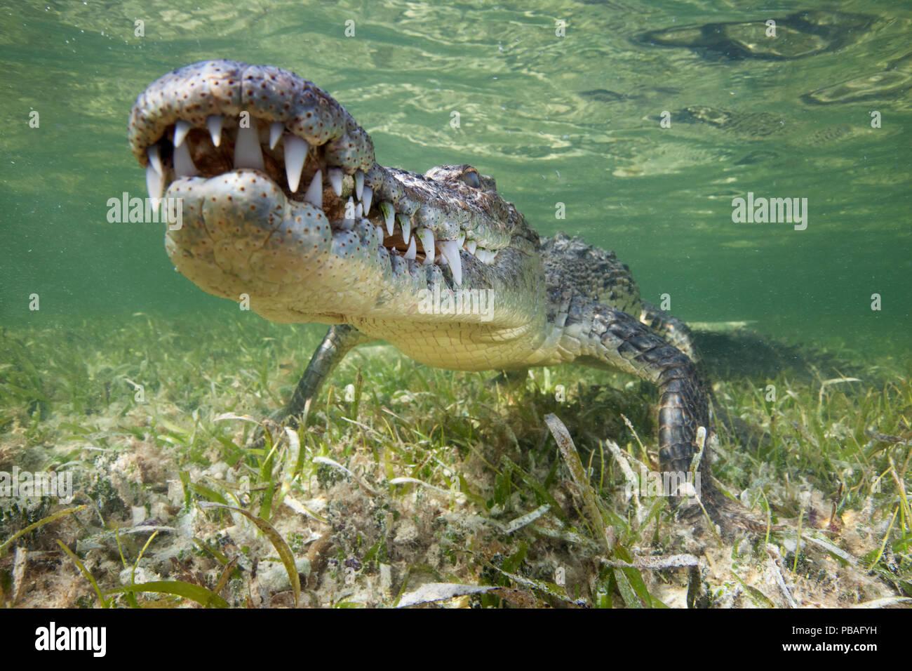Crocodile (Crocodylus acutus) reposant juste au-dessus des herbiers sous l'eau, Réserve de biosphère Banco Chinchorro, Caraïbes, Mexique Banque D'Images