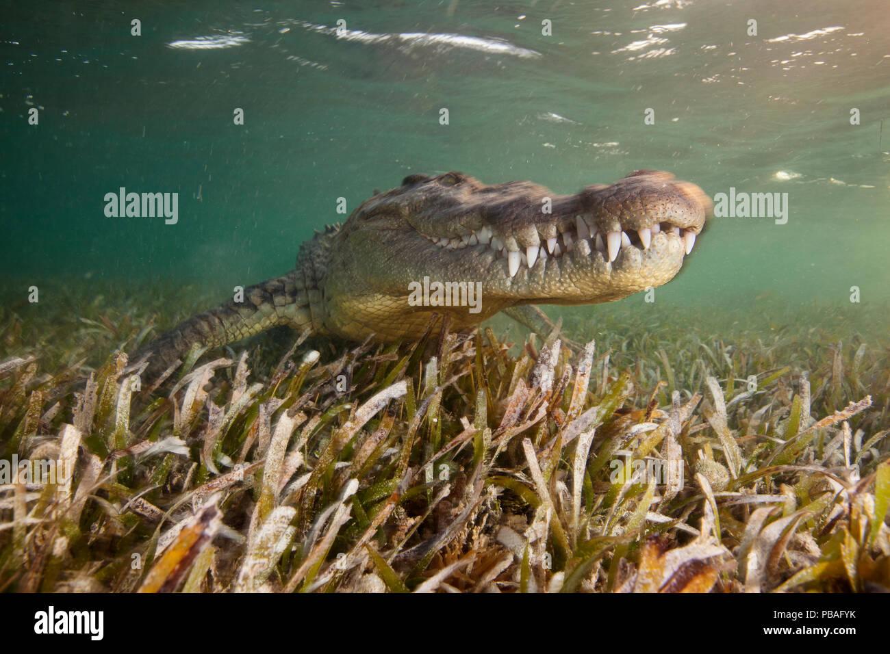 Crocodile (Crocodylus acutus) portrait sur lit d'herbes marines peu profondes en ater, Réserve de biosphère Banco Chinchorro, Caraïbes, Mexique, mai. Banque D'Images