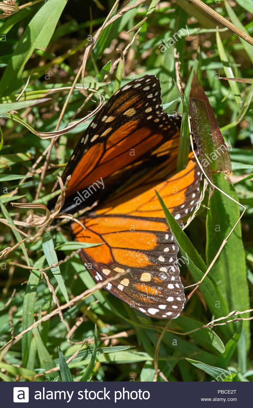 Un papillon Monarque Danaus - l(Gomphocarpus physocarpus) - gisant mort dans l'herbe verte. À la fois belle et tragique - telle est la vie. Photo Stock