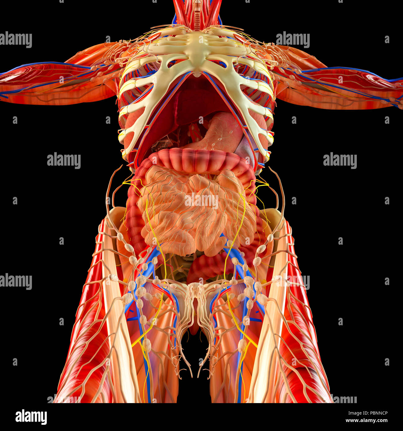 Corps Humain Systeme Musculaire Les Organes Internes Le Systeme