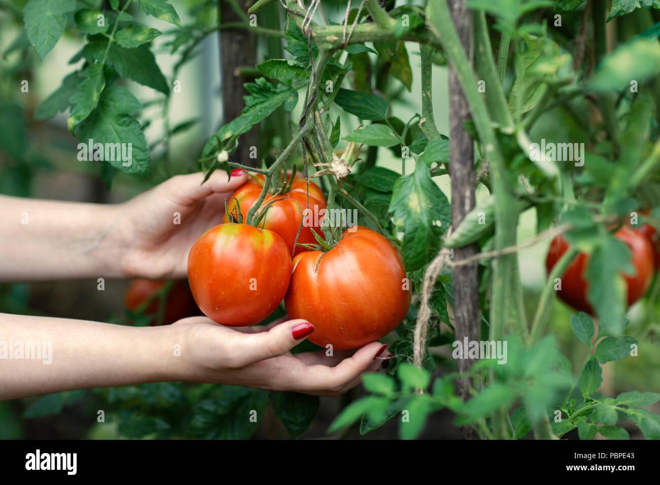 Cueillette de tomates rouges (Solanum lycopersicum) des émissions. La Région de Kaluga, Russie centrale. Photo Stock