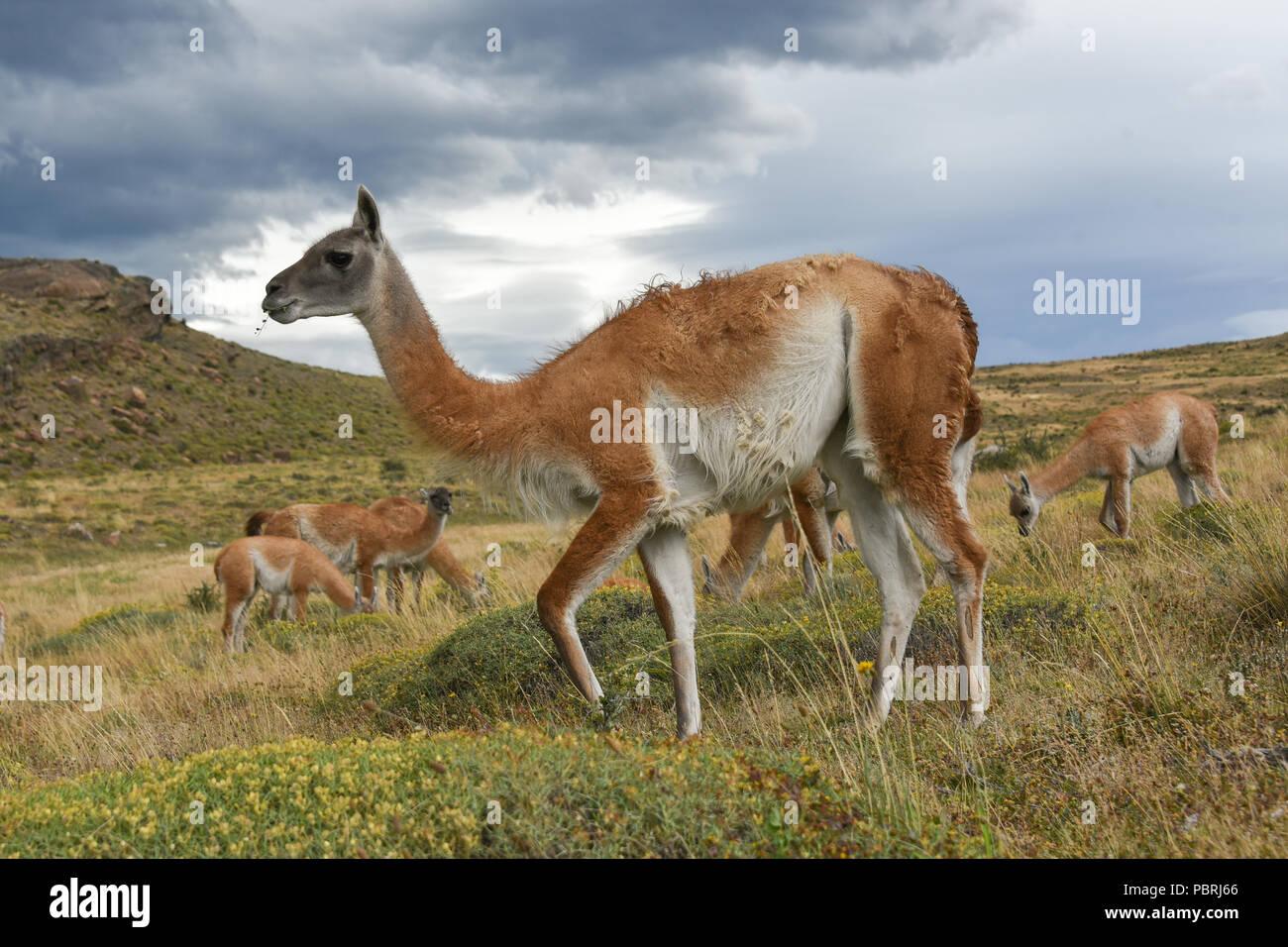 Guanacos (Lama guanicoe) après la pluie, le Parc National Torres del Paine, Patagonie, Chili, Amérique du Sud Banque D'Images