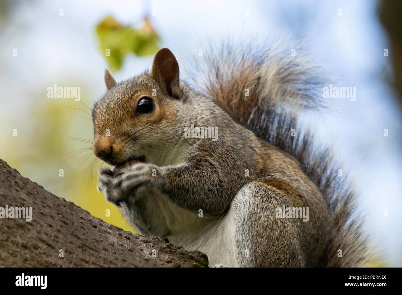 L'Écureuil gris de l'assit sur une branche l'alimentation. Photo Stock