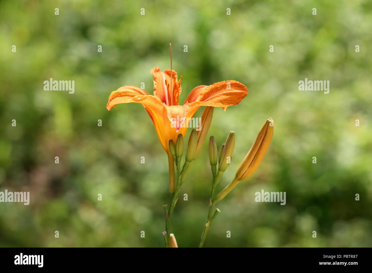 Lily Lilium Ou Jaune Orange Fleur Vivace Floraison Unique Entoure De