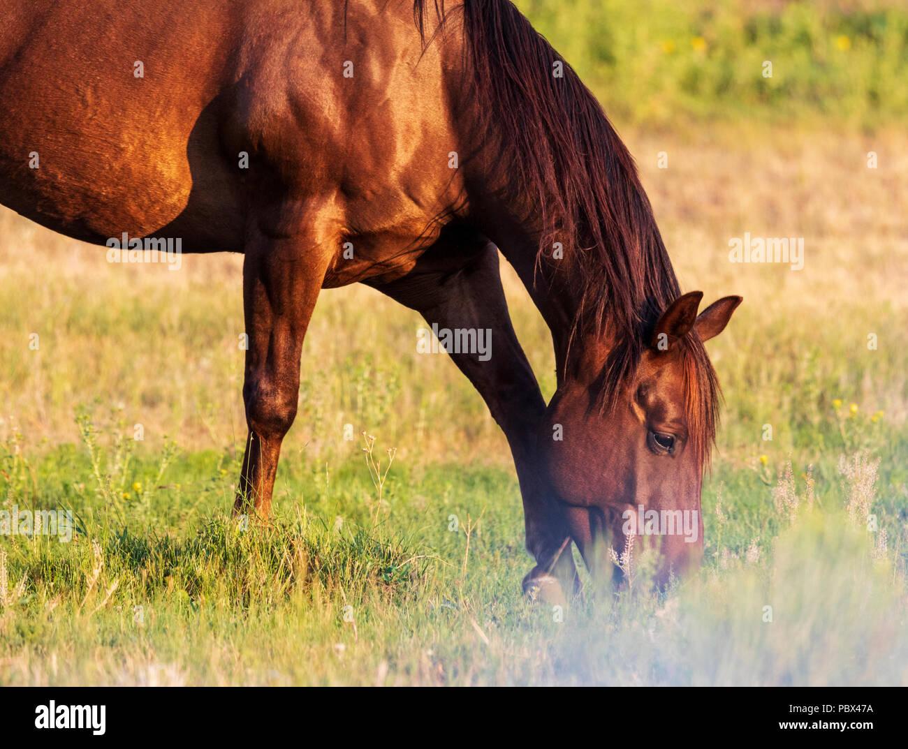 Dans les pâturages de chevaux au coucher du soleil; près de Salida, Colorado, USA Photo Stock