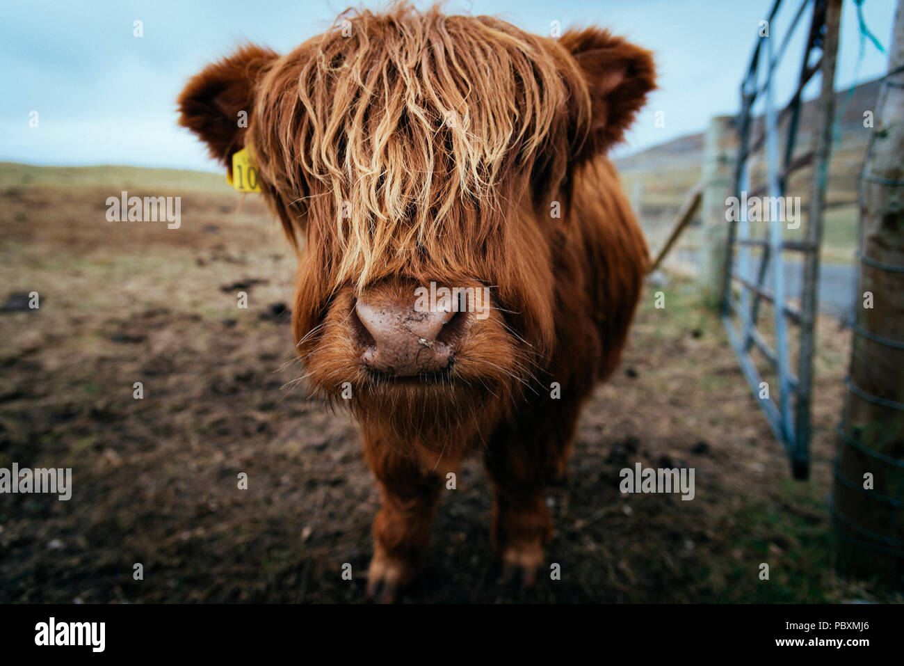 Vache Highland, Isle of Harris, Scotland, UK, Europe Photo Stock