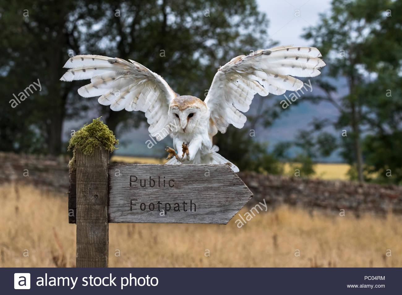 Effraie des clochers (Tyto alba), l'atterrissage sur sentier pour signer, Cumbria, Royaume-Uni, Photo Stock