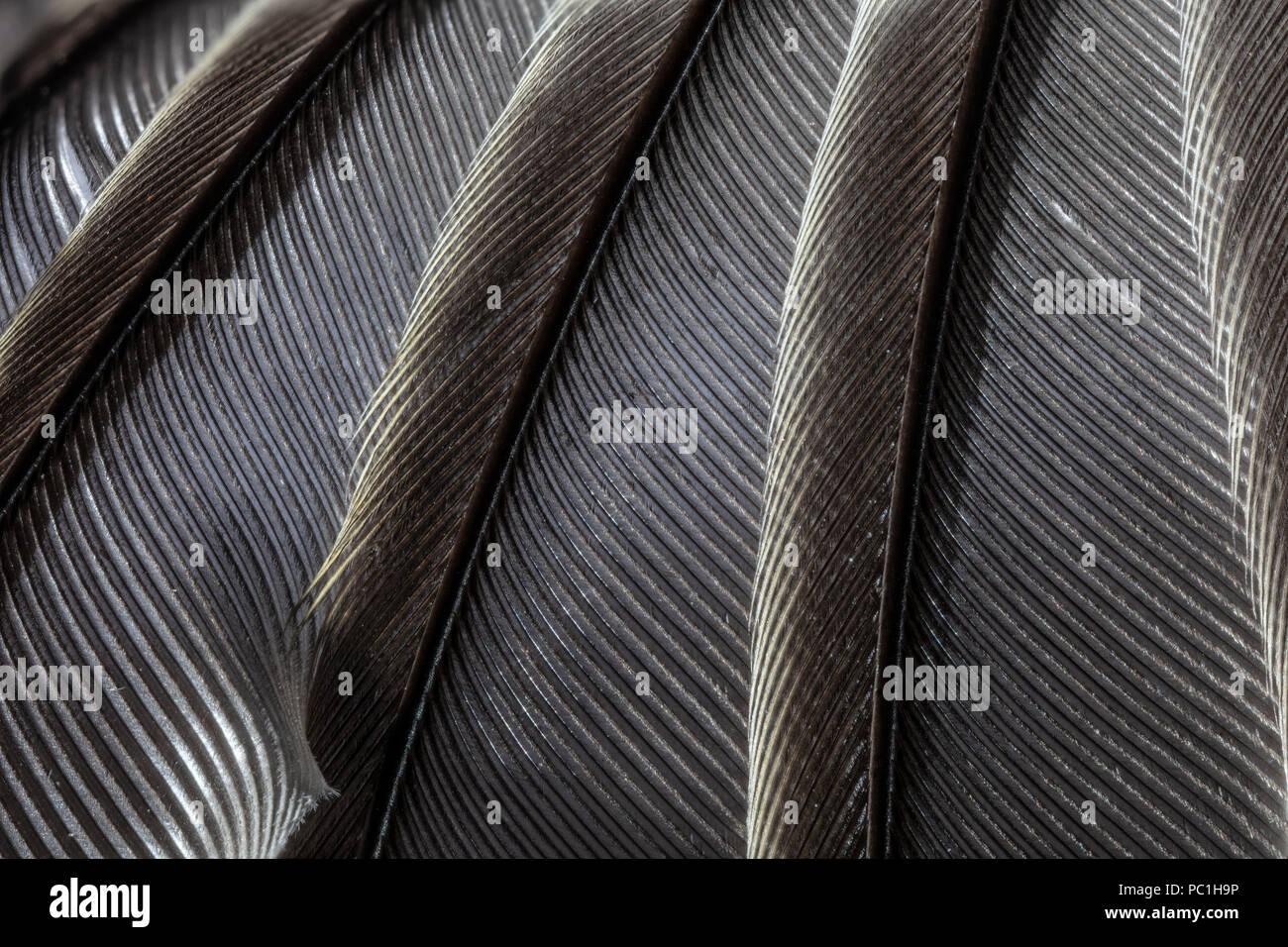 Plumes des ailes d'oiseaux de l'ECU Photo Stock
