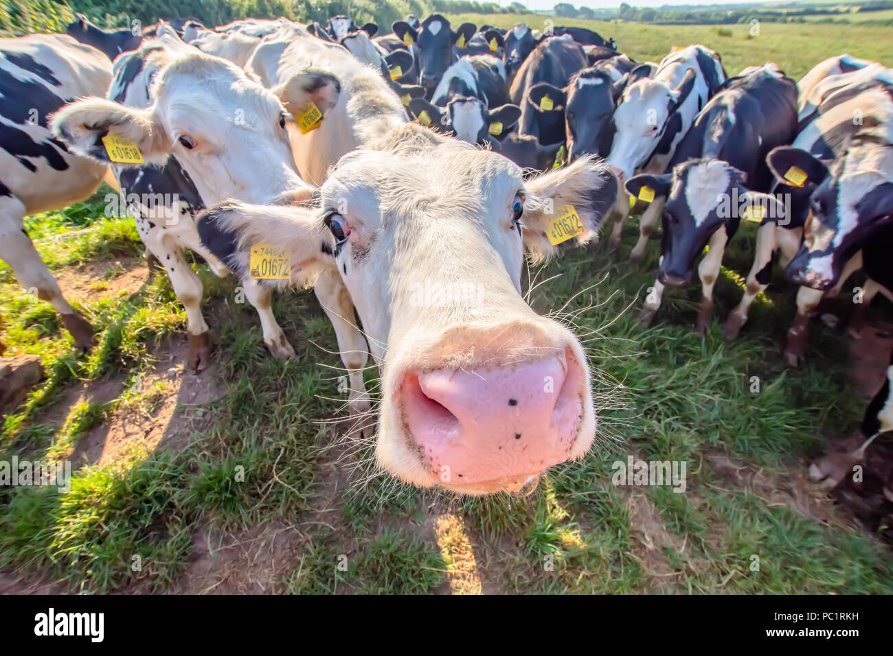 Vache blanche portrait sur les pâturages à la recherche des animaux de ferme.en appareil photo avec objectif grand angle.drôles et adorables animaux bovins.uk.Drôle de vaches. Photo Stock