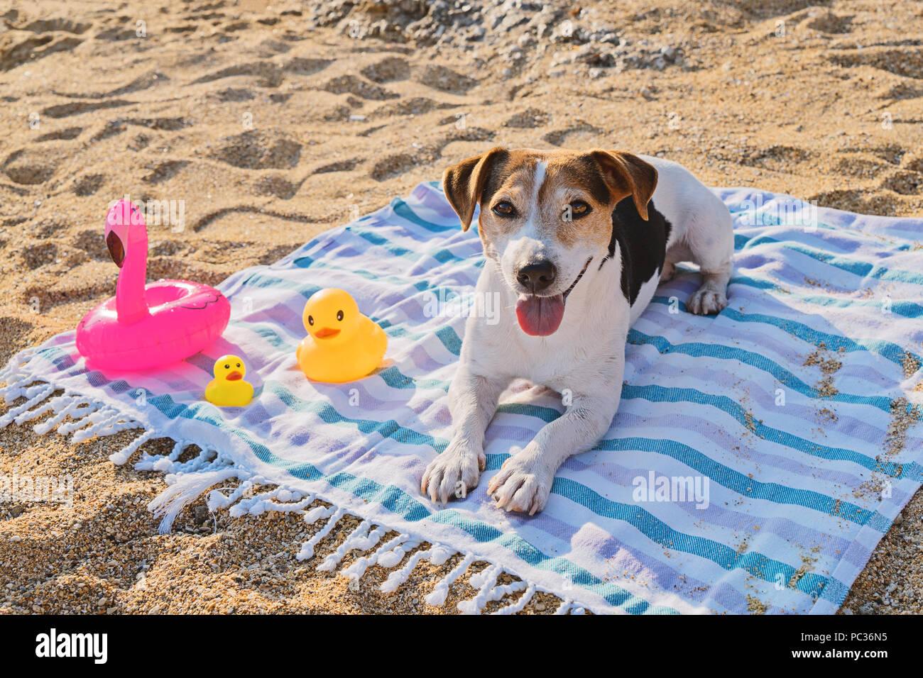 Cute Jack Russell Terrier dog lying et jouit sur serviette bleu sur le sable de plage et à la recherche à l'appareil photo. Soins de santé chien en saison de chaleur et de rayons UV active concept Photo Stock