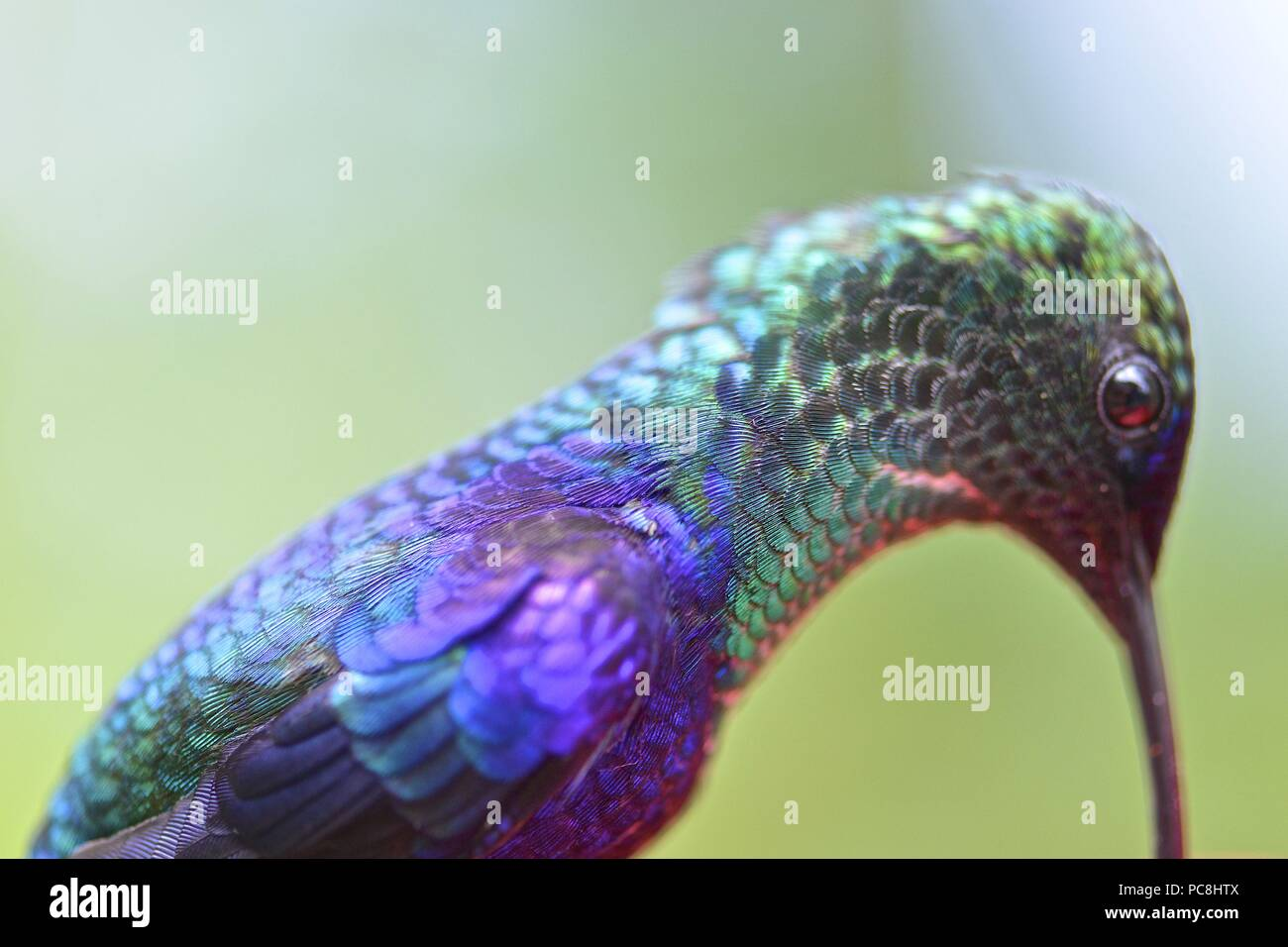 Détail d'un homme couronné woodnymph hummingbird, Thalurania. columbica Banque D'Images