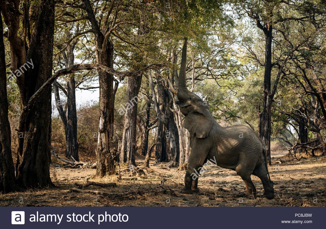 L'éléphant d'Afrique, Loxodonta africana, l'alimentation sur le feuillage. Photo Stock