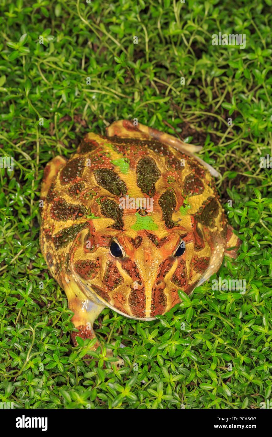 La grenouille cornue dans les feuilles. Photo Stock