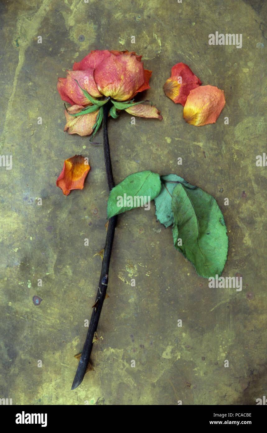 Seule fleur s ch e de orange rouge et rose jaune avec - Rose avec tige ...