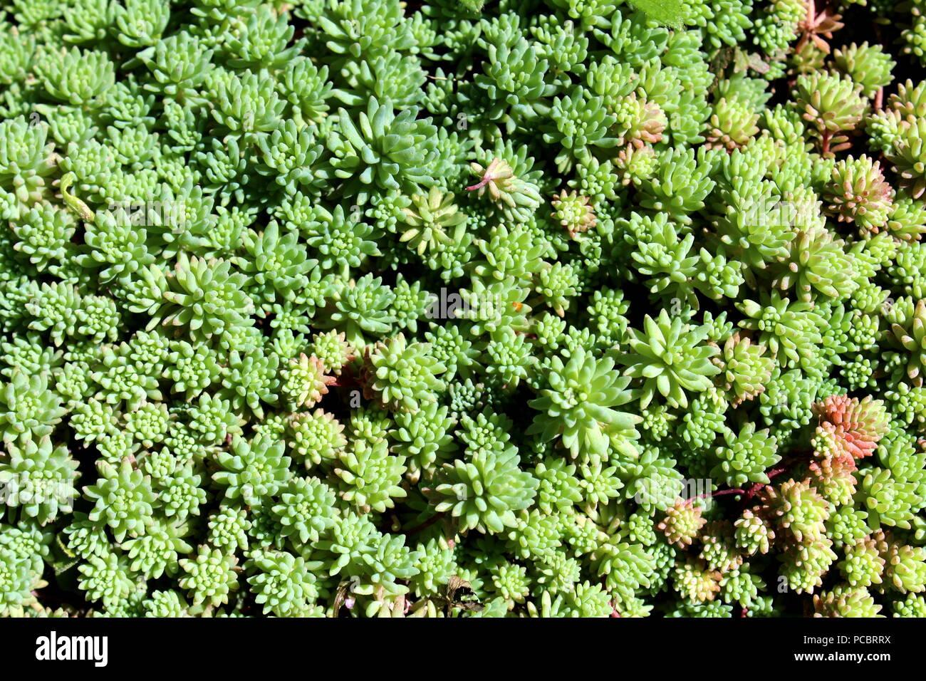 Plante Couvre Sol Soleil sedum ou orpin hardy succulentes vivaces couvre-sol épais