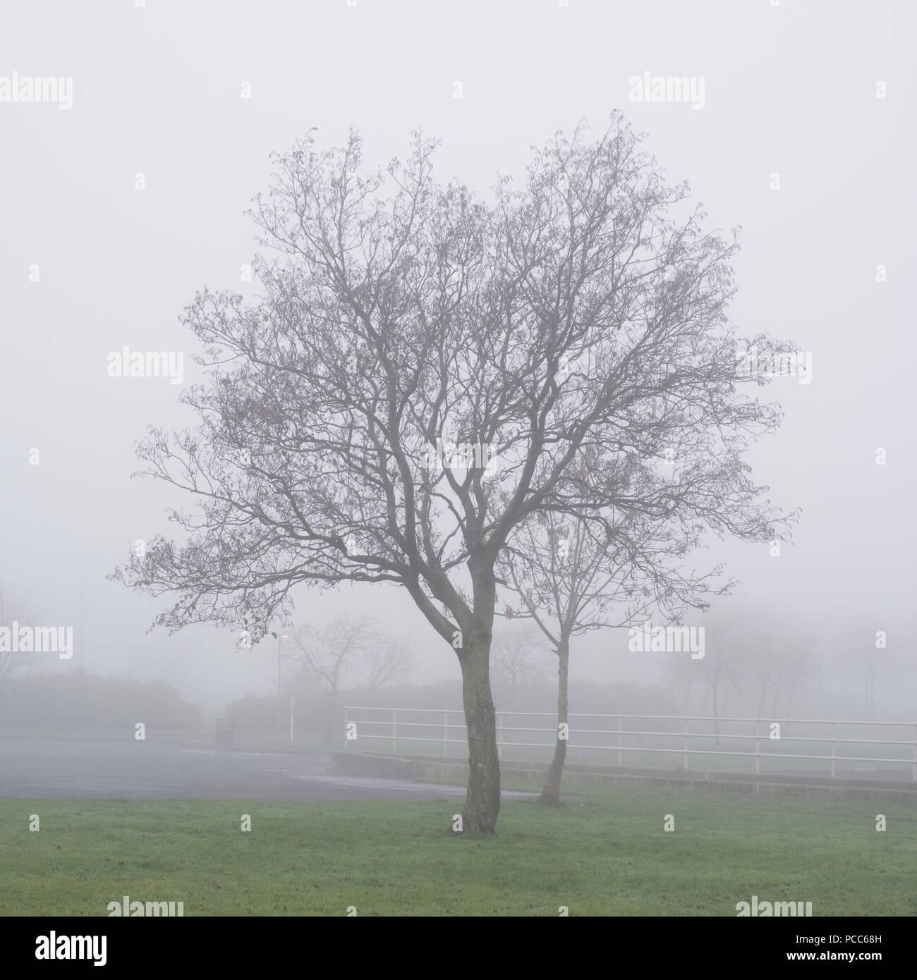 Deux arbres du parc dans le brouillard et la brume dans les boisés en milieu sauvage Photo Stock