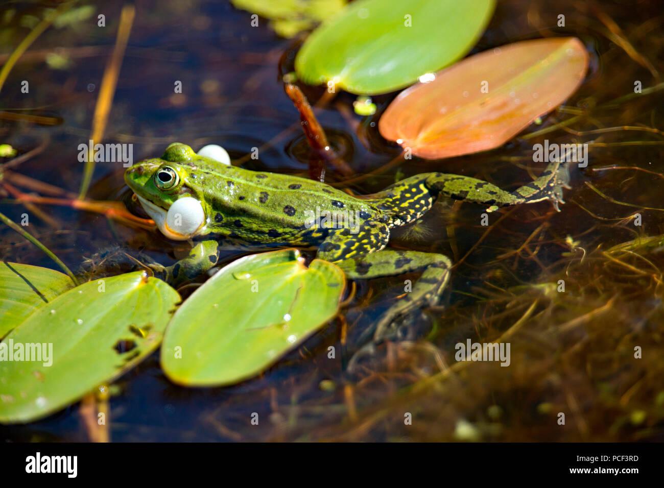 Edible frog (Rana esculenta), Banque D'Images