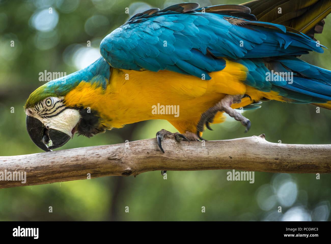Un bleu-et-jaune macaw (également connu sous le nom de bleu et or macaw) à la St Augustine Alligator Farm Zoological Park à Saint Augustine, FL. (USA) Photo Stock
