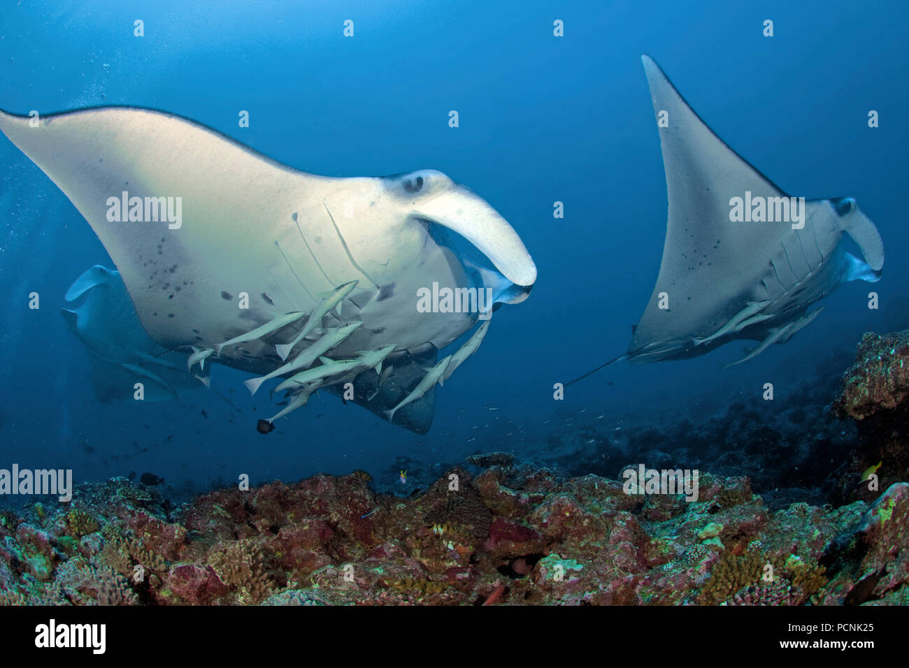 Deux énormes oceanic raies manta (manta birostris) avec le meunier de requins (Remora remora), Yap, Micronésie Photo Stock