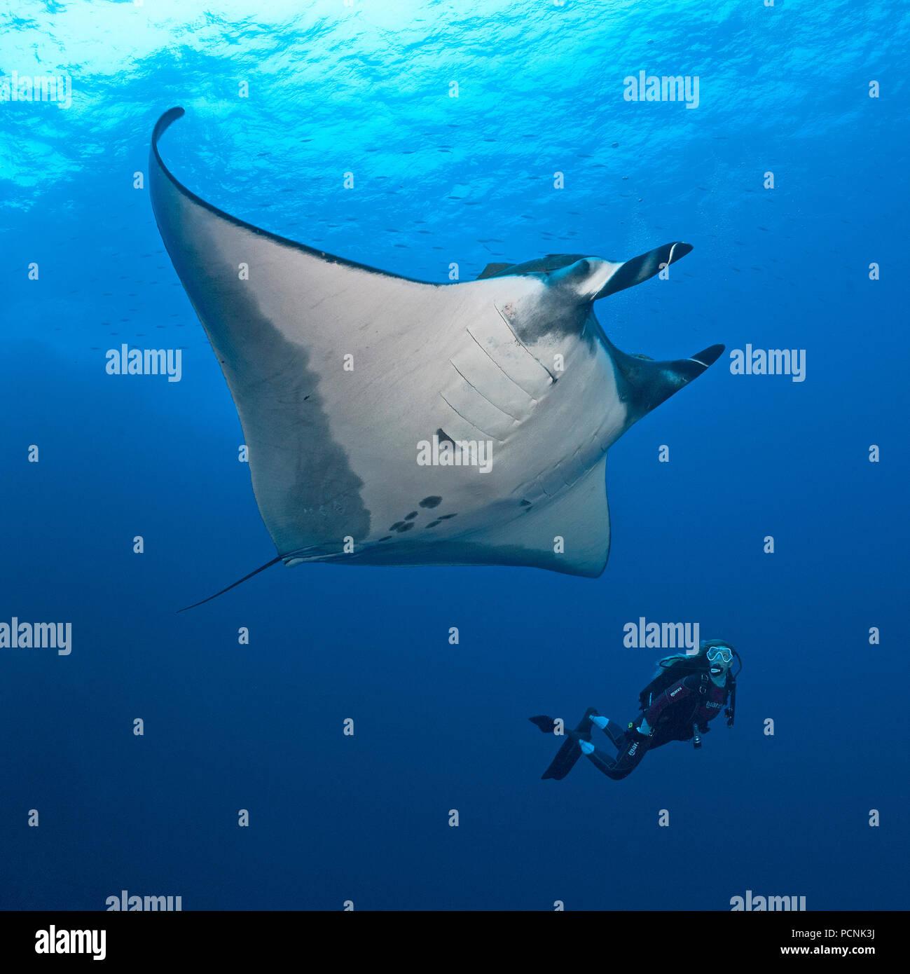 Plongée sous-marine nager avec un géant oceanic manta (manta birostris), San Benedicto Island, Revillagigedo-Inseln, Mexique Banque D'Images