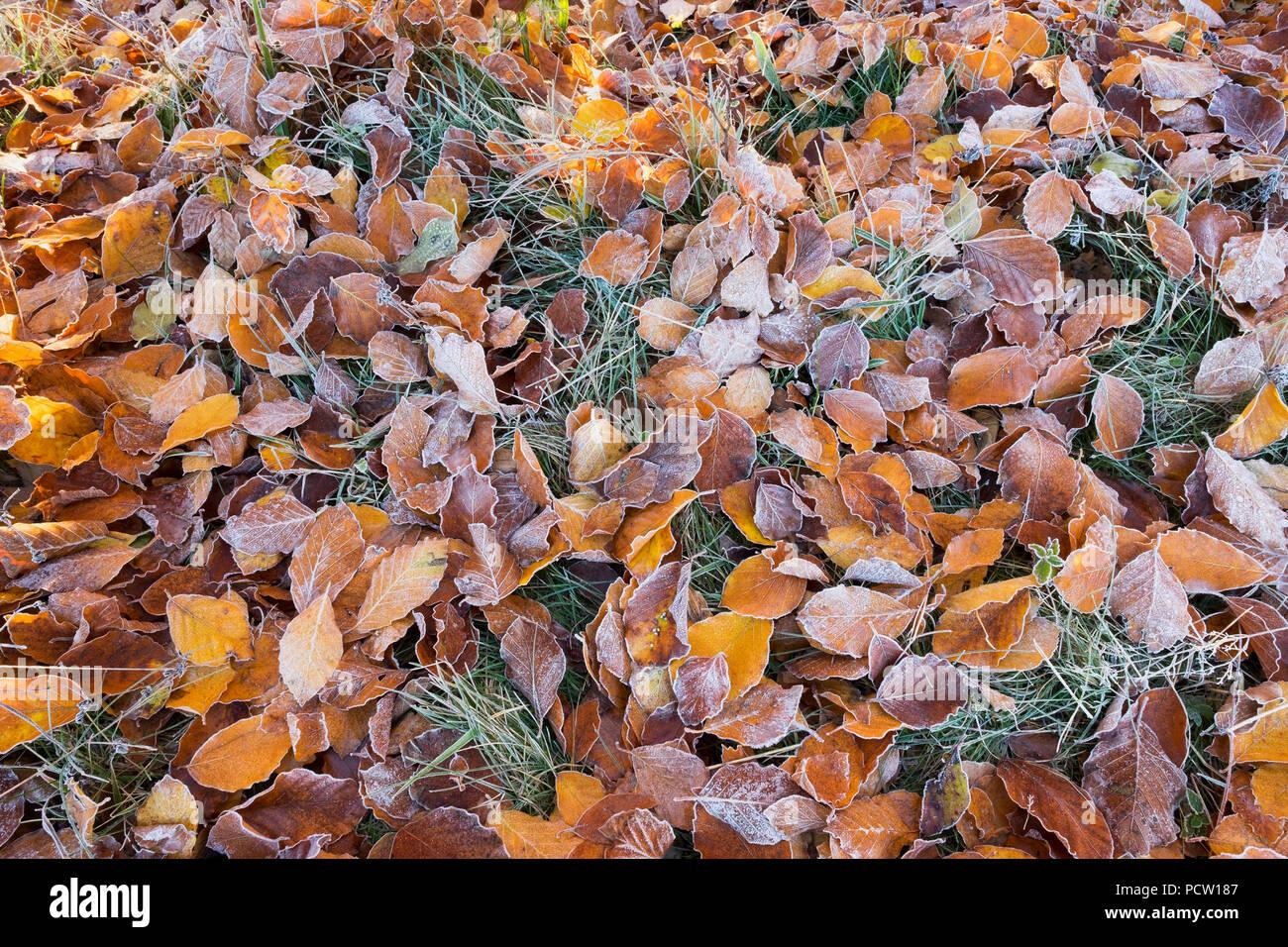 Feuilles de hêtre avec de la gelée blanche sur la prairie, la traite, la Haute-Bavière, Bavière, Allemagne Banque D'Images