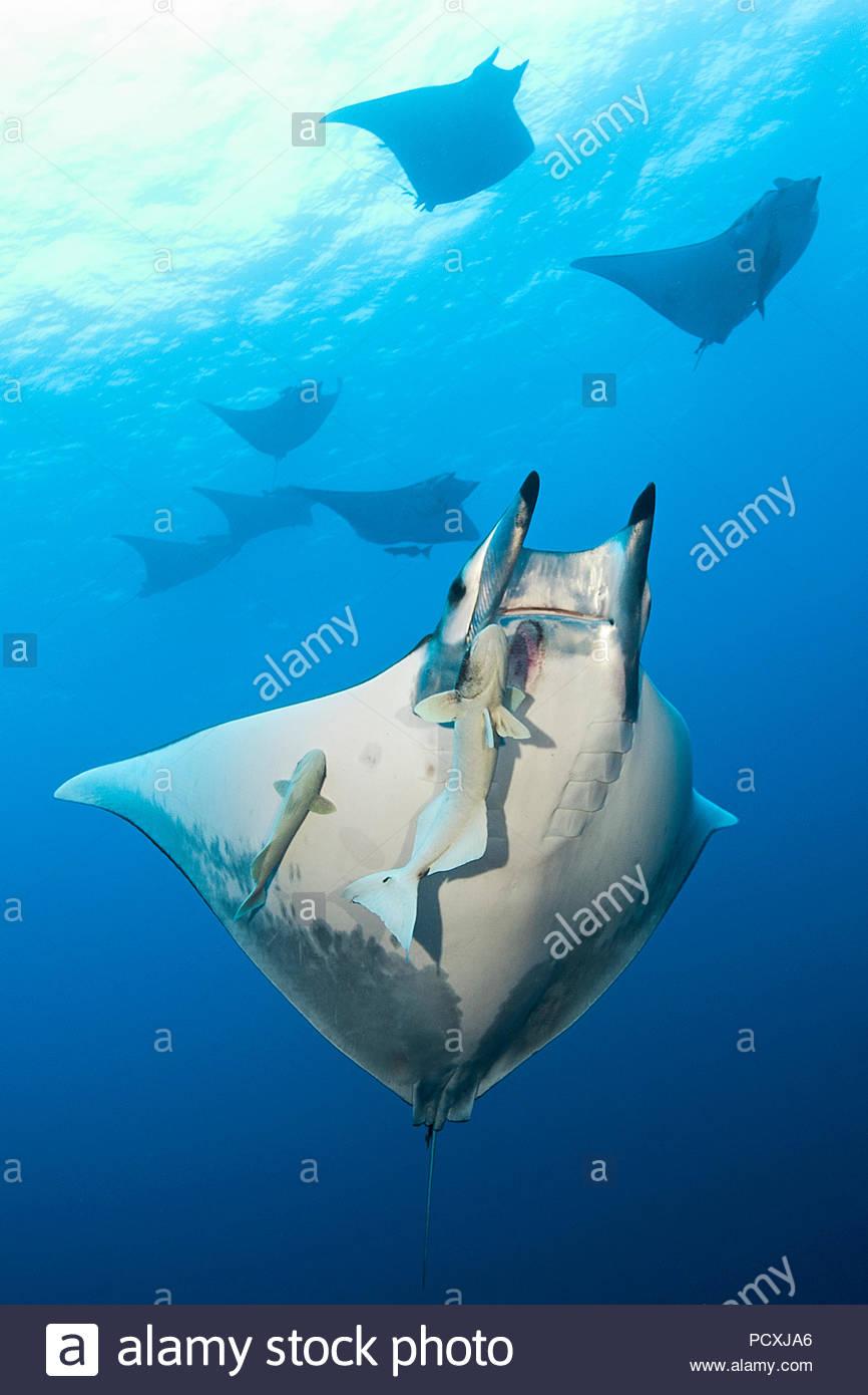 Un groupe chilien ou mobulas épineuse devil rays (Mobula tarapacana) avec remora (Echeneidae), l'île de Santa Maria, Açores, Portugal Photo Stock