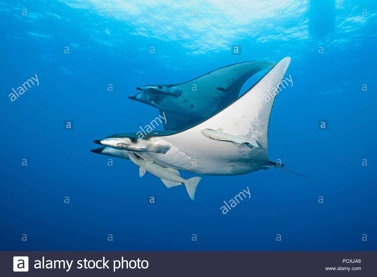 Deux ou mobulas épineuse devil rays chilienne (Mobula tarapacana) avec remoras (Echeneidae), l'île de Santa Maria, Açores, Portugal Photo Stock