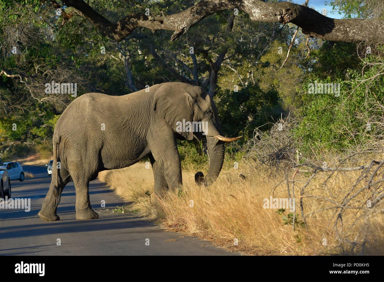 L'Afrique du Sud, une destination de voyage fantastique de faire l'expérience de troisième et premier monde ensemble. Elephant bull road block dans le Parc National de Kruger. Banque D'Images