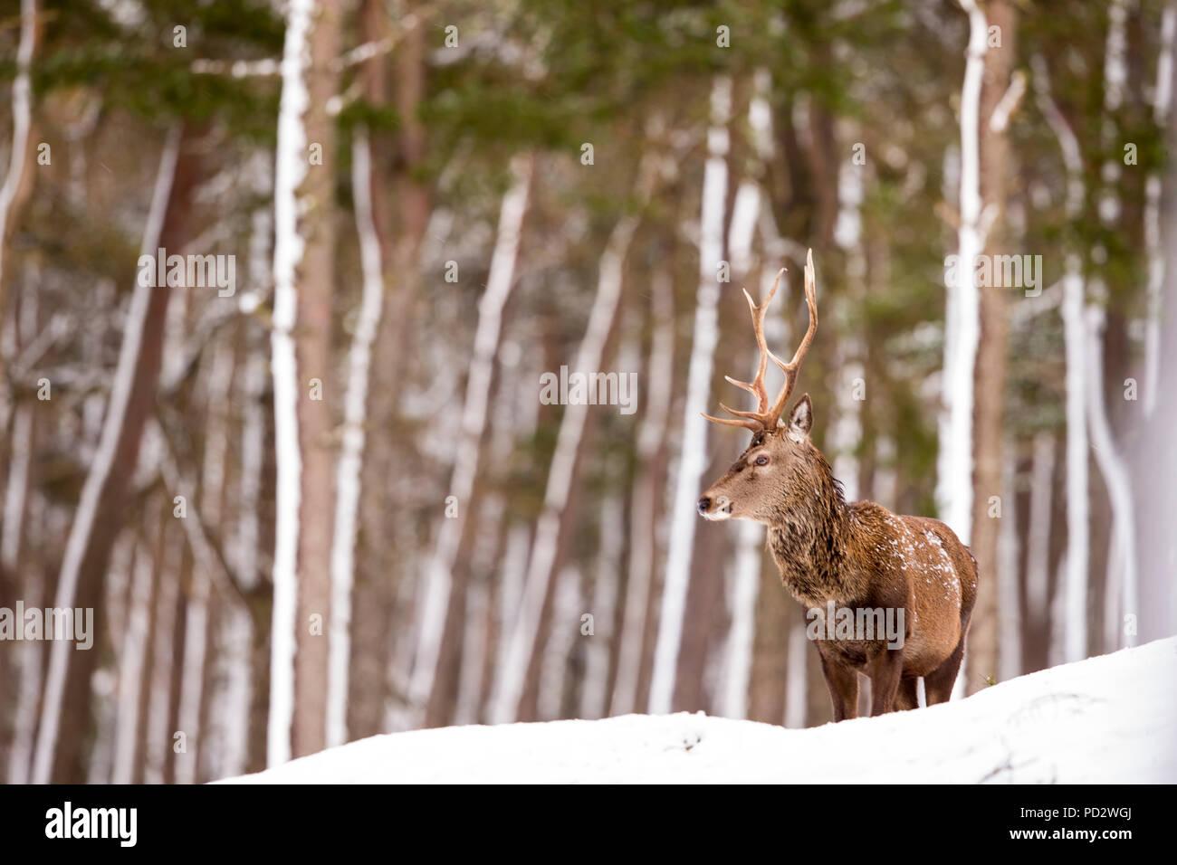 Cervus elaphus Cerf rouge Photo Stock
