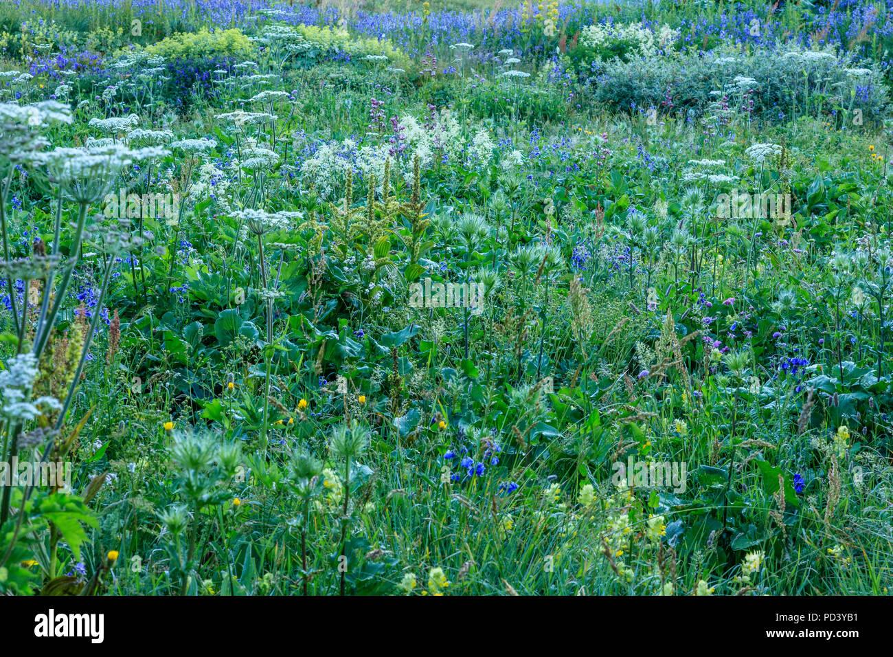 France, Hautes Alpes, Villar d'Arêne, le jardin botanique alpin du Lautaret //France, Hautes-Alpes (05), Villar-d'Arène, jardin alpin du Lautaret, prair Photo Stock