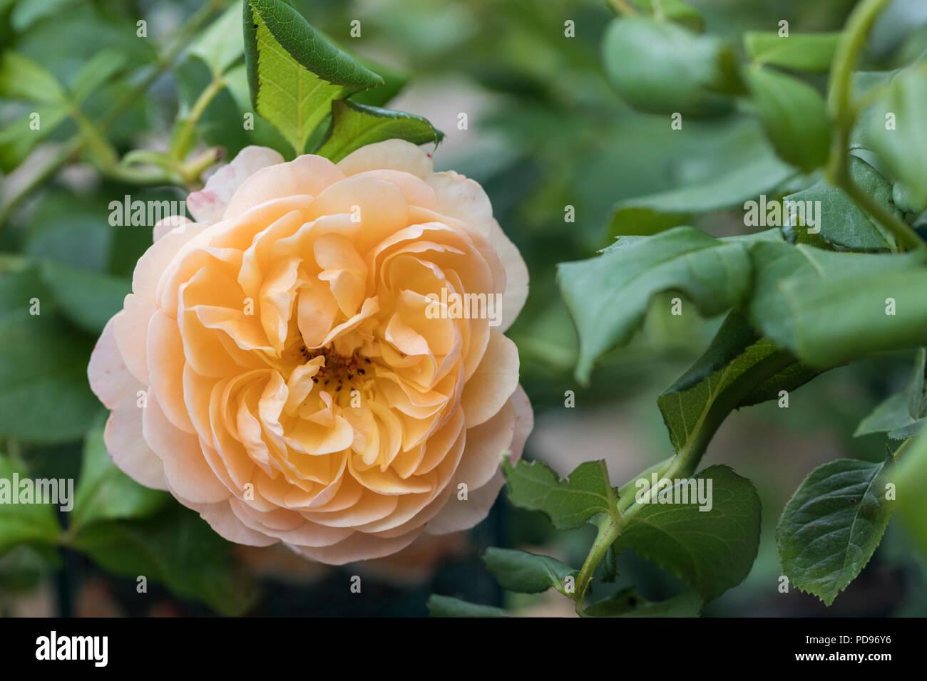 Close up of rose de Roald Dahl David Austin Roses Photo Stock