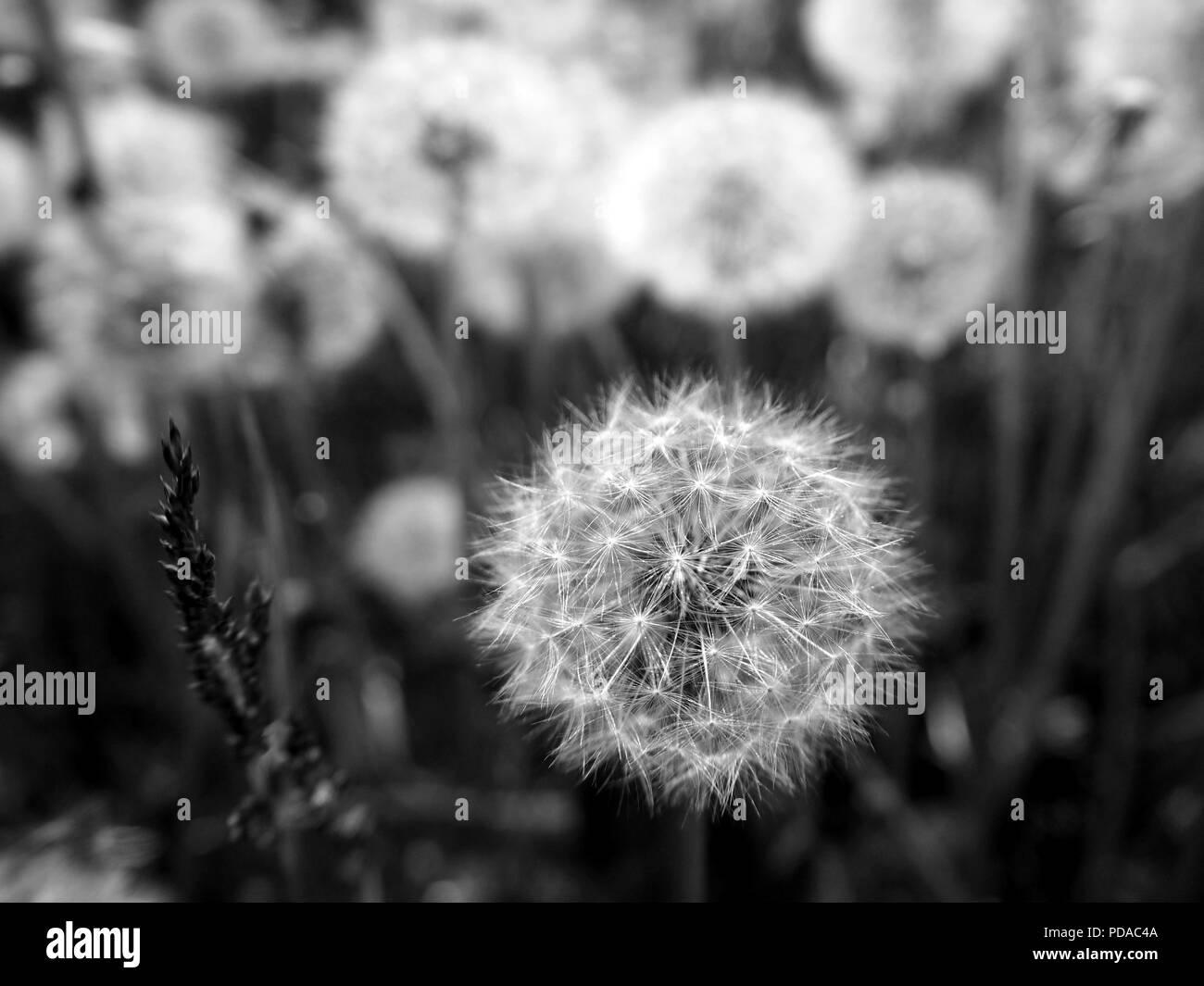 Pissenlit Fleur Blanche Dans Le Champ Noir Et Blanc D Ete Banque D