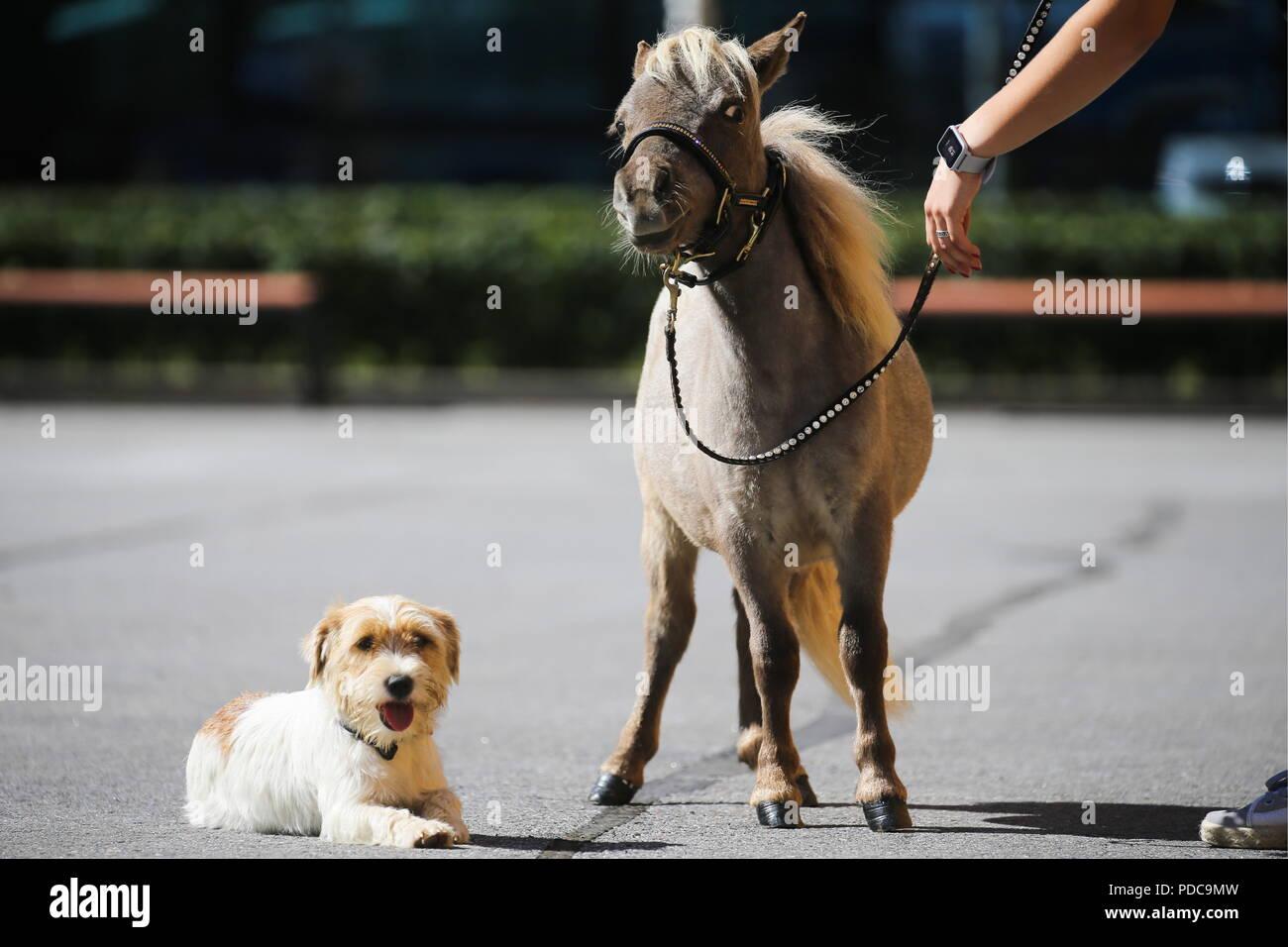 Saint-pétersbourg, Russie. Le 08 août, 2018. Saint-pétersbourg, RUSSIE - Août 8, 2018: Gulliver, le cheval le plus petit au monde, et d'un chiot à la 20e Hipposphere exposition équestre internationale à l'Expoforum Convention and Exhibition Centre. La hauteur au garrot du cheval né d'un couple de chevaux miniatures américains à l'hidalgo pony farm, est de 49 cm (19.29 in). Peter Kovalev/crédit: TASS ITAR-TASS News Agency/Alamy Live News Banque D'Images