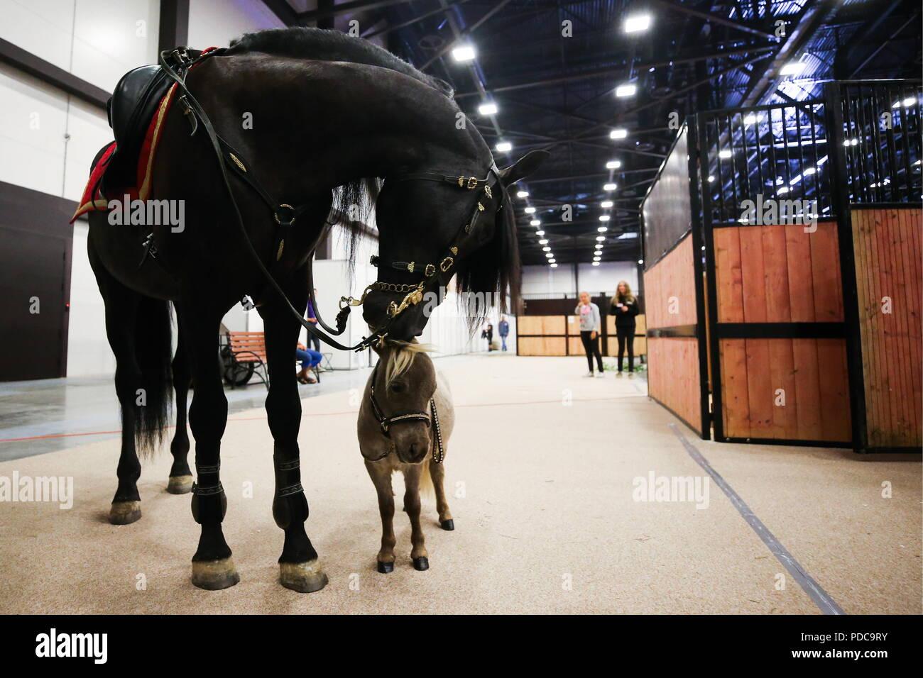 Saint-pétersbourg, Russie. Le 08 août, 2018. Saint-pétersbourg, RUSSIE - Août 8, 2018: Gulliver, le cheval le plus petit au monde, à la 20e Hipposphere équestre international à l'exposition Expoforum Convention and Exhibition Centre. La hauteur au garrot du cheval né d'un couple de chevaux miniatures américains à l'hidalgo pony farm, est de 49 cm (19.29 in). Peter Kovalev/crédit: TASS ITAR-TASS News Agency/Alamy Live News Banque D'Images