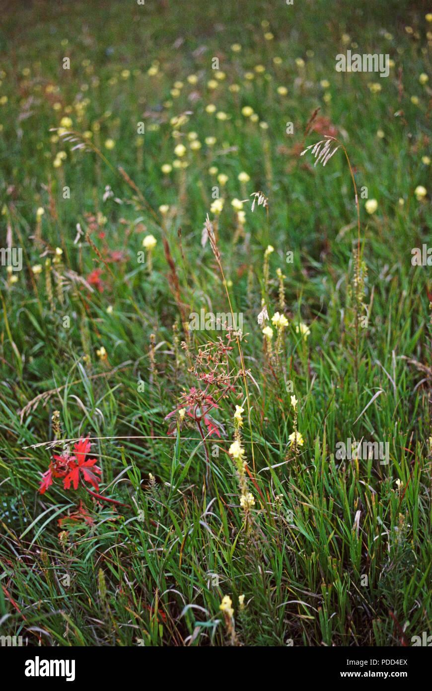 Herbes et fleurs sauvages des prairies, dans l'Est du Montana Photo Stock
