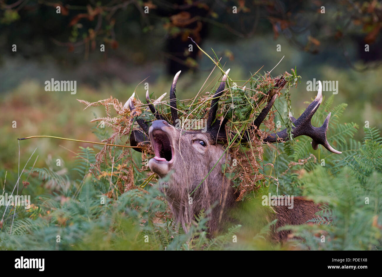 Red Deer Stag Photo Stock