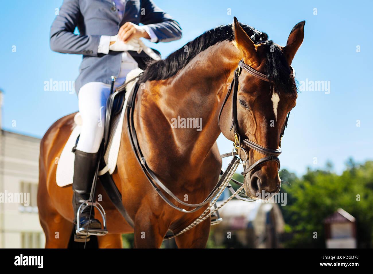 Cavalier professionnel tout en mettant des gants bleu sur riding horse Photo Stock