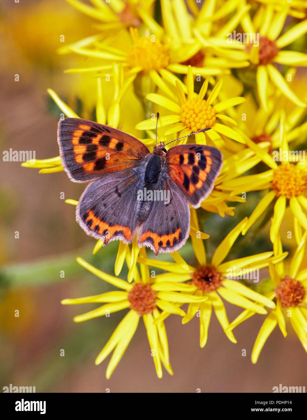 Petite aberration de nectar sur cuivre extensa séneçon. Hurst Meadows, East Molesey, Surrey, Angleterre. Photo Stock