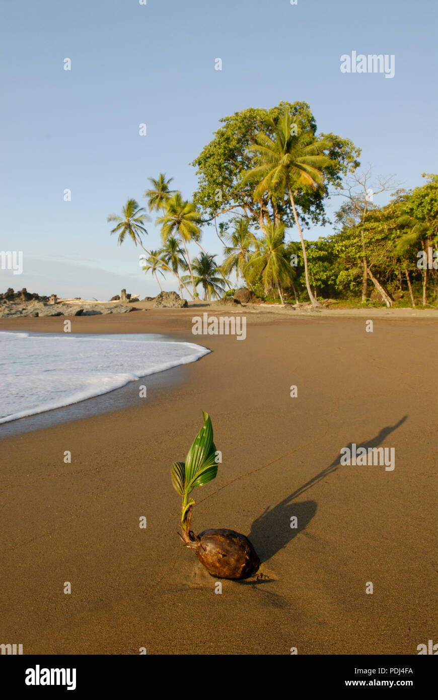 Coconut bourgeonnant sur plage, parc national de Corcovado, Costa Rica Photo Stock