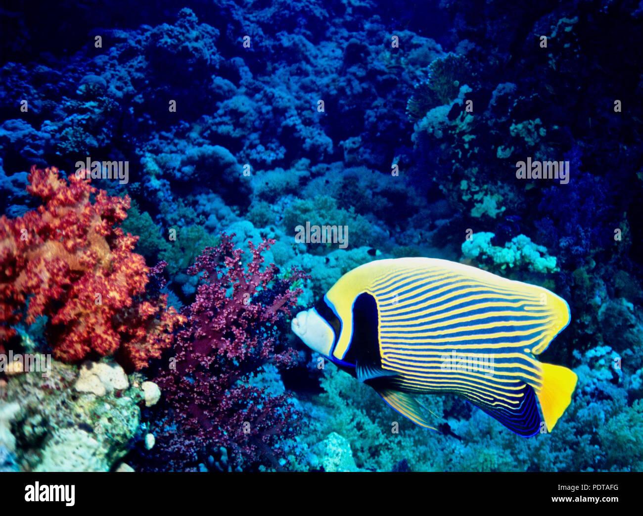 J ai rencontré ce poissons ange empereur (Pomacanthus imperator   30 cms.) 083688adb39