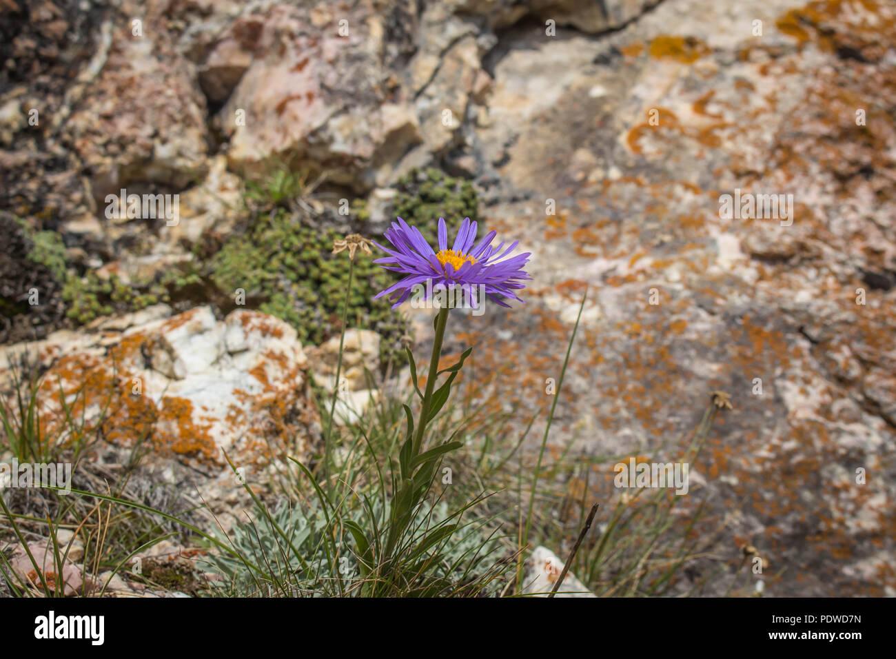 Seule Fleur Violette De L Herbacee Vivace Aster Alpinus Sur La