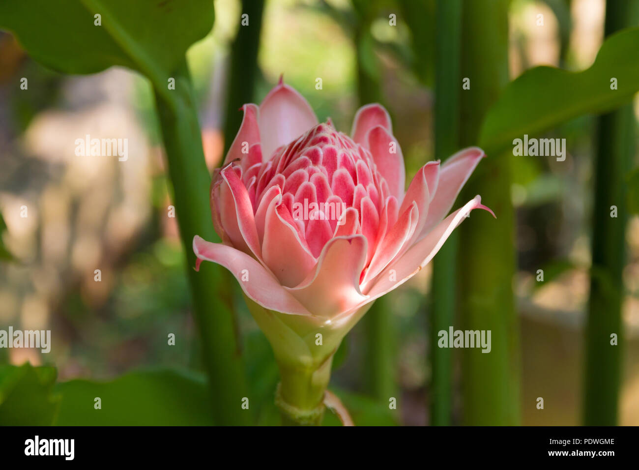 Pink Torch Ginger Photos Pink Torch Ginger Images Alamy