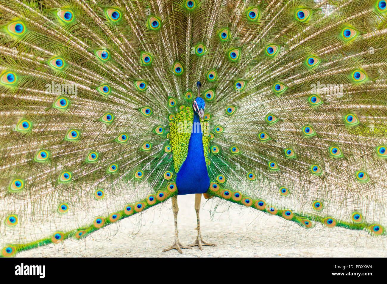 Avec des plumes de la queue de paon Ébrasés Photo Stock