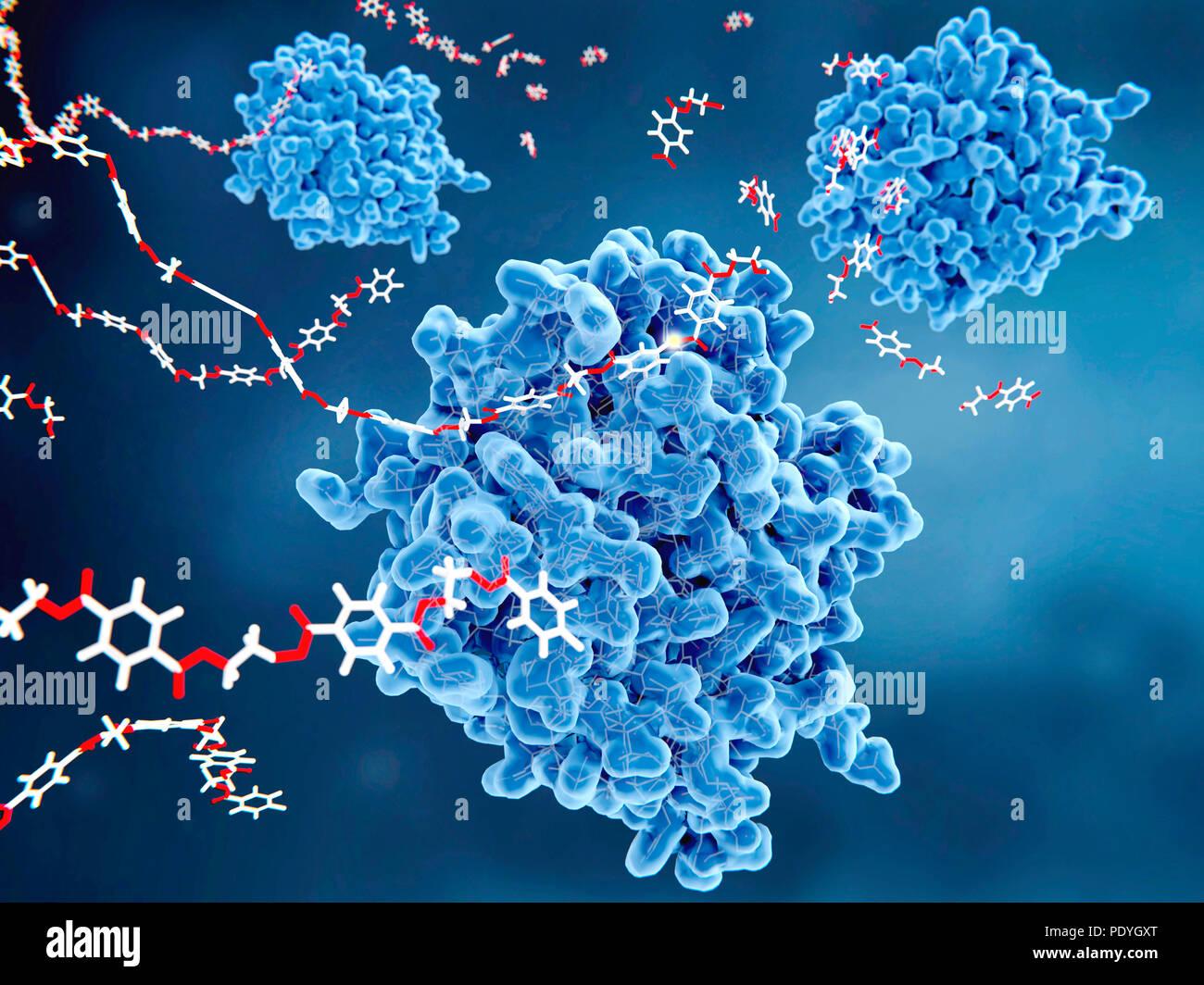 PETase enzymes (bleu) briser le plastique, l'illustration. PETase est une enzyme bactérienne qui décompose le PET (polyéthylène téréphtalate) plastics (rouge et blanc) à gauche, molécules monomères (coin supérieur droit). L'ensemble du processus de dégradation bactérienne acide téréphtalique purifié des rendements et de l'éthylène glycol, qui sont écologiquement inoffensif. Photo Stock