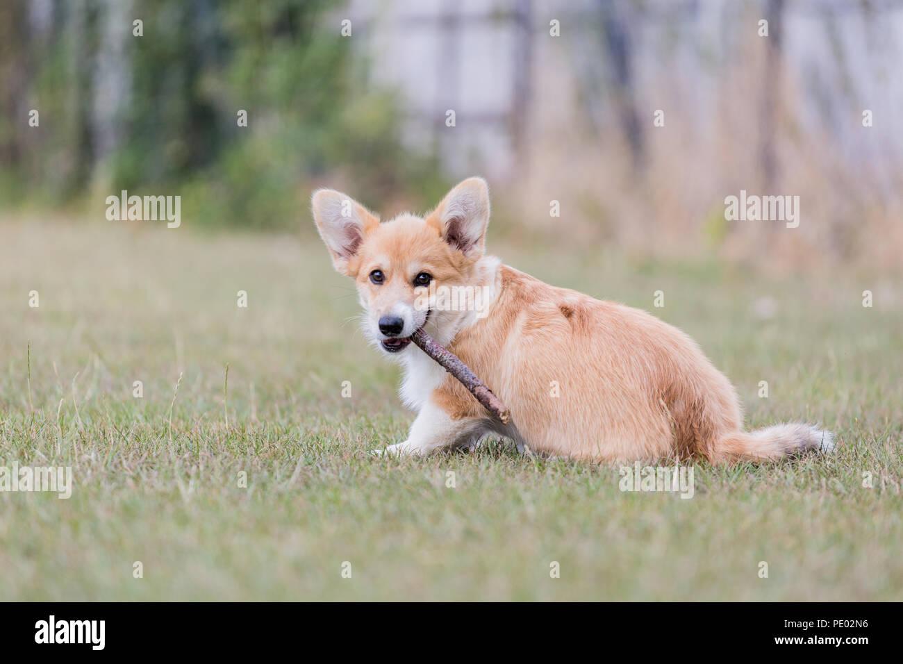 4 mois Welsh Corgi Pembroke chiot en promenade dans la campagne, Oxfordshire, UK Banque D'Images