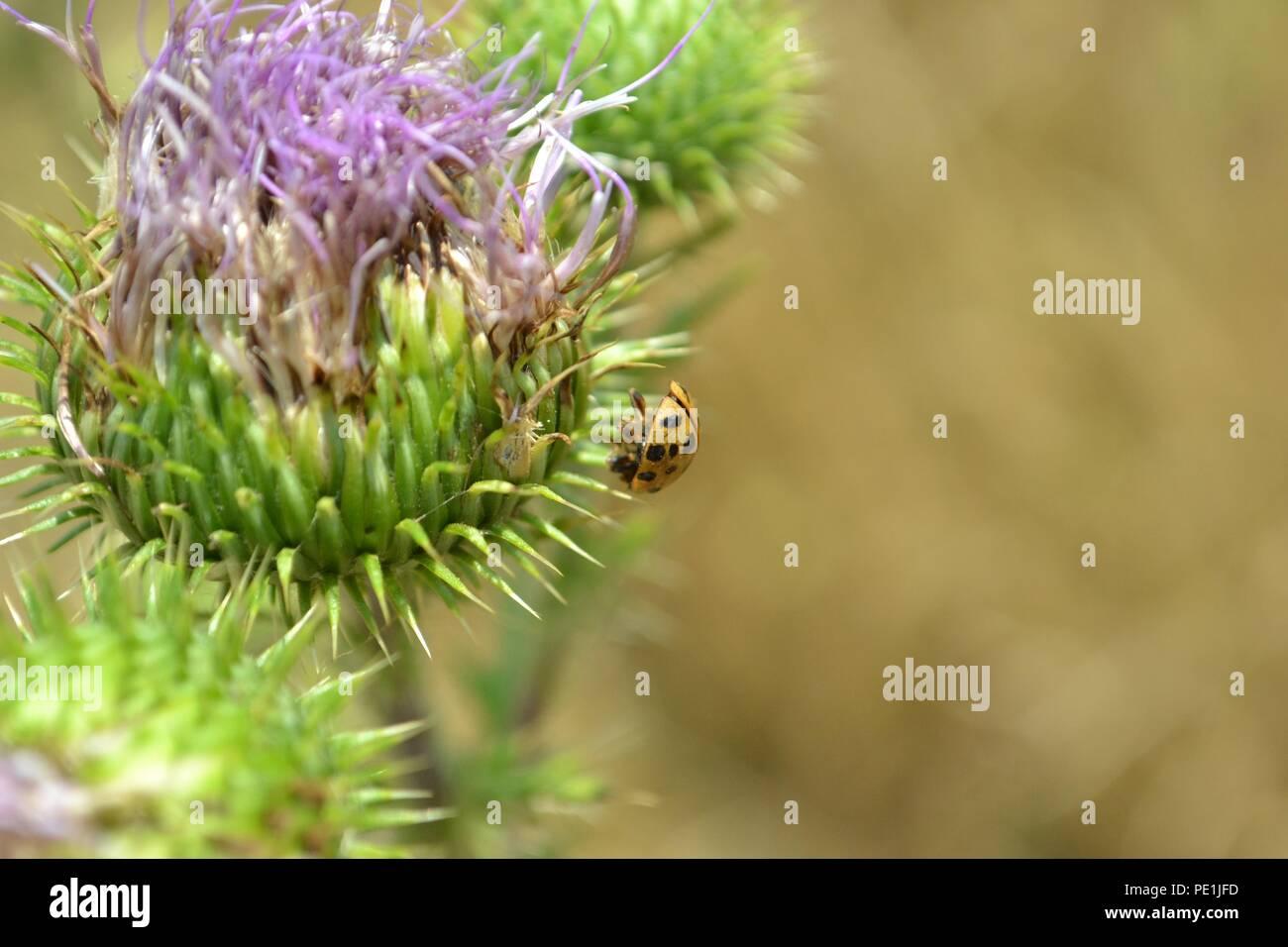 Photographie Gros plan d une coccinelle mort empalé sur un pic d un chardon  pourpre fleur. d79e06d5ecd