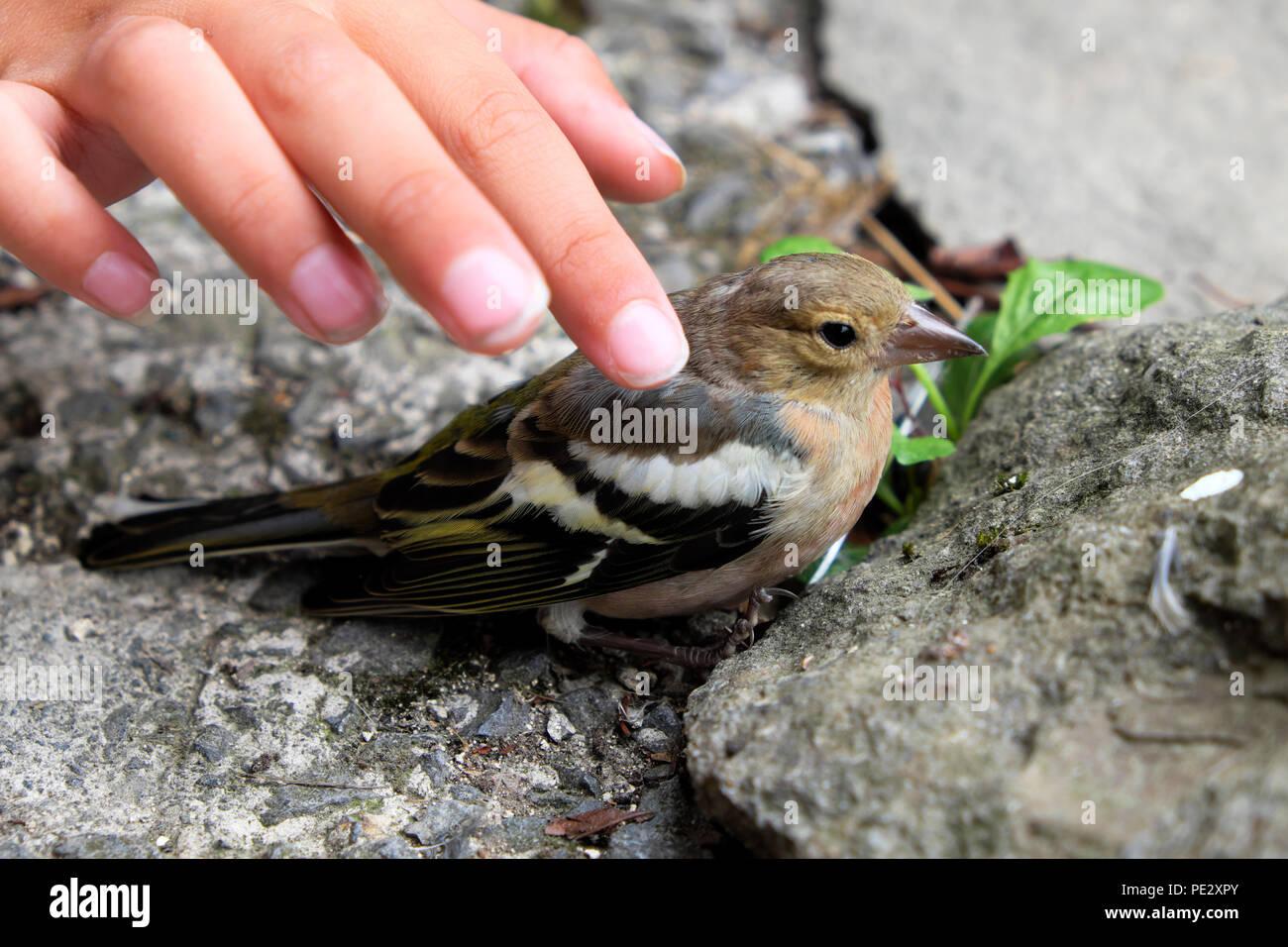 Enfant montrant la compassion de caresser un pinson oiseau posé assommé sur le sol après s'écraser dans une fenêtre Carmarthenshire Wales UK KATHY DEWITT Photo Stock