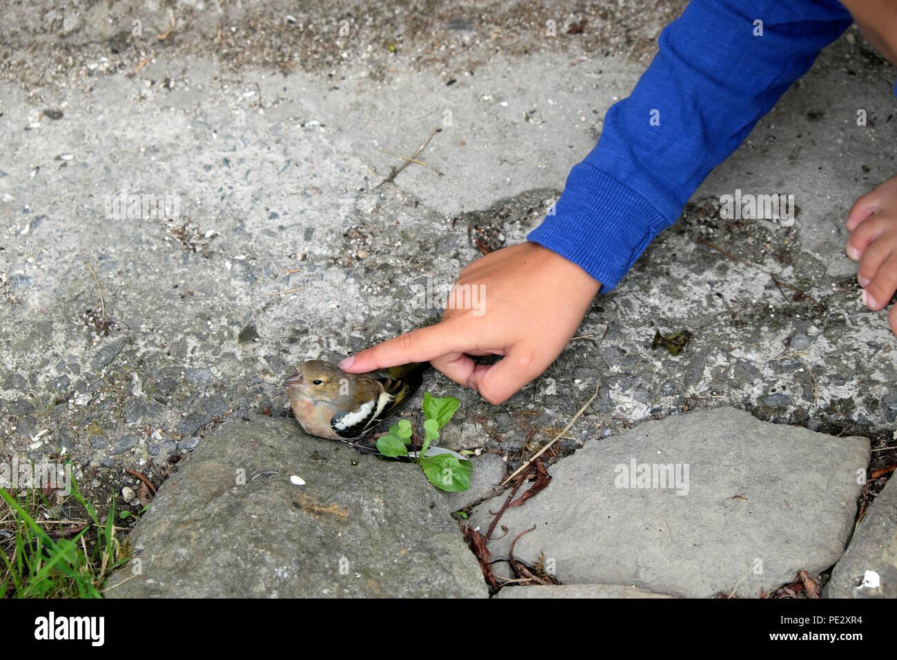 La main de l'enfant de caresser de pinson oiseau posé sur le sol assommé après s'écraser dans une fenêtre dans Carmarthenshire Wales UK. KATHY DEWITT Photo Stock