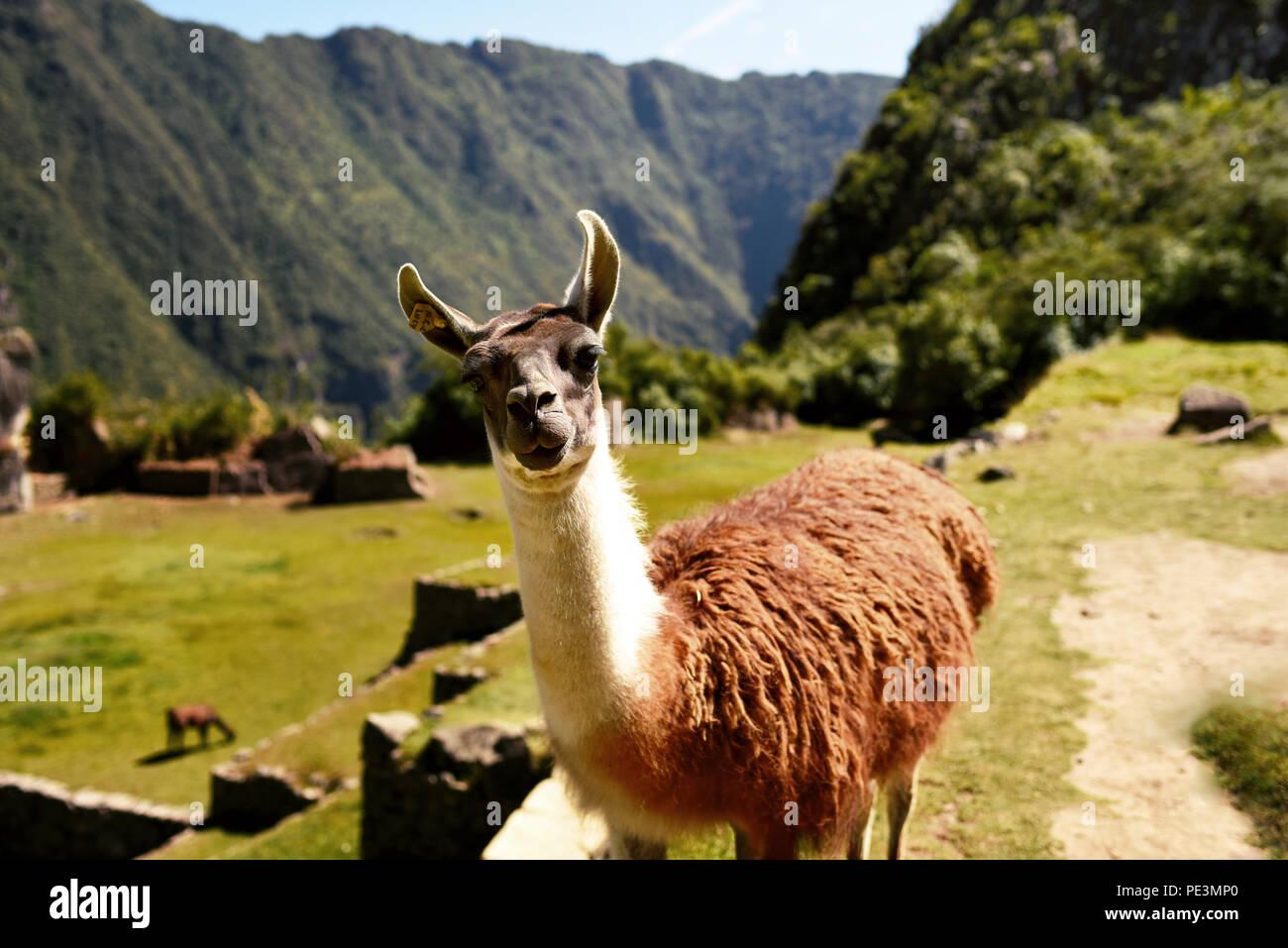 Curieux llama à directement à l'appareil photo vers le Machu Picchu. La région de Cuzco, Pérou. Jul 2018 Photo Stock