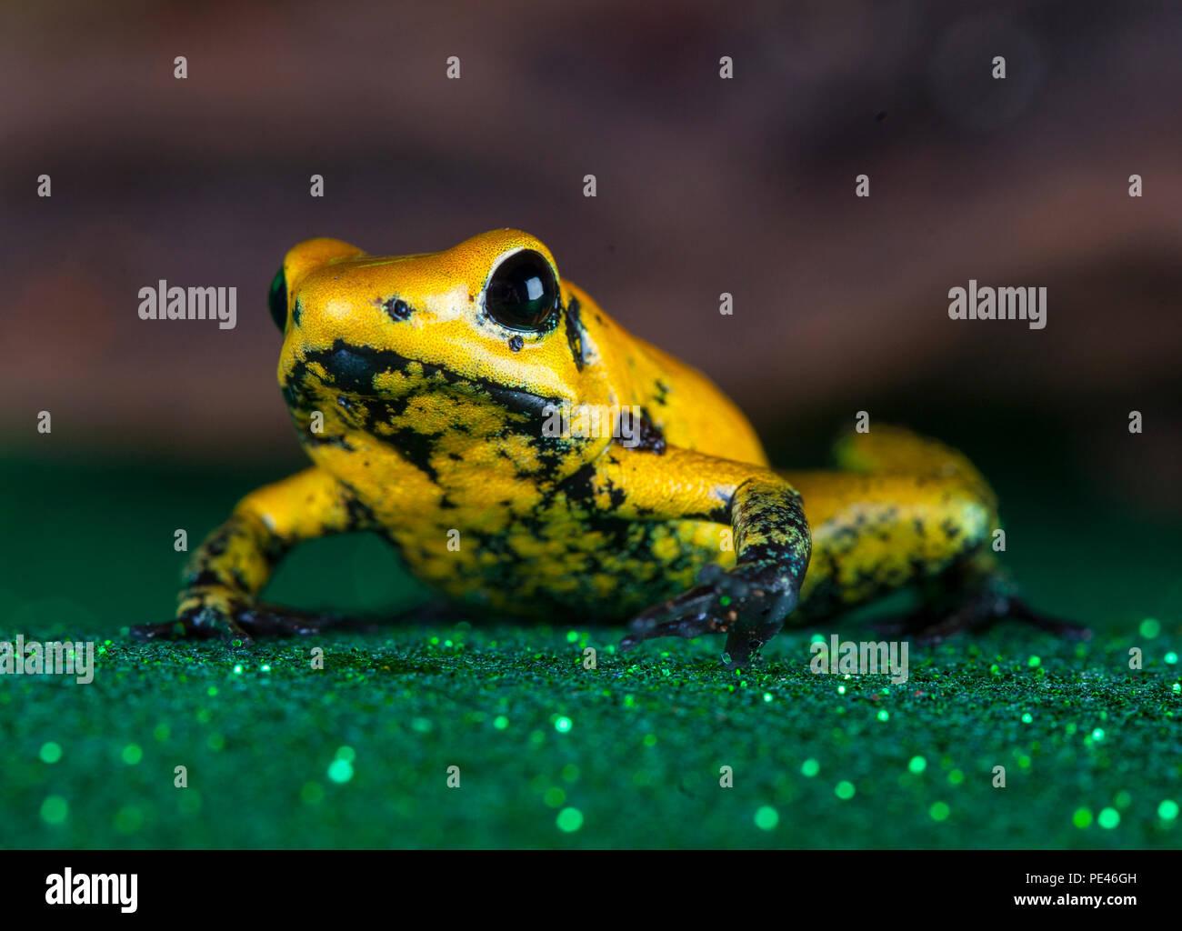 Golden frog glisser Photo Stock